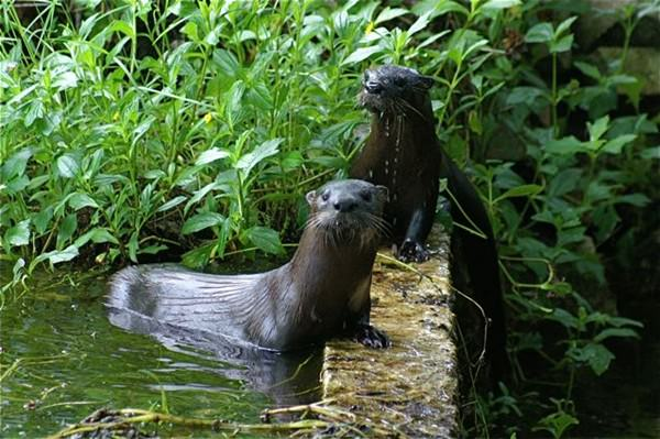Harbour-Ridge-Otters