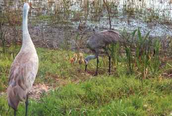 Harbour-Ridge-Sandhill-Cranes