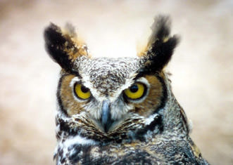 Harbour-Ridge-Screech-Owl