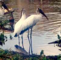 Harbour-Ridge-Stork