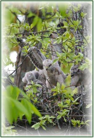 Baby-Hawks-Harbour-Ridge