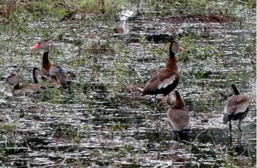 Black-Bellied-Whistling-Ducks-Harbour-Ridge