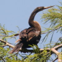 Harbour-Ridge-Anhinga-Pirched