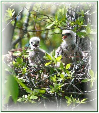 Harbour-Ridge-Baby-Hawks
