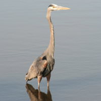 Harbour-Ridge-Blue-Heron-Wading