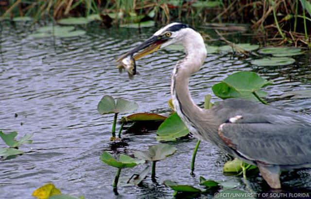 Harbour-Ridge-Blue-Heron