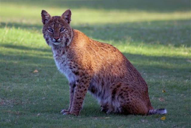 Harbour-Ridge-Bobcat-Sitting