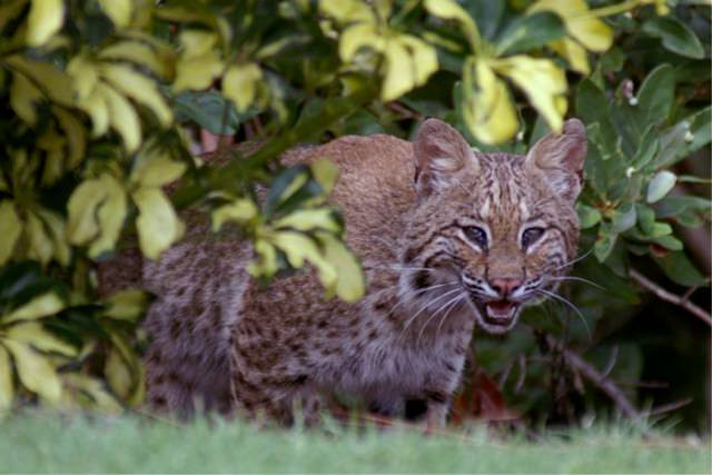 Harbour-Ridge-Bobcat-Stalking