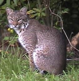 Harbour-Ridge-Bobcat