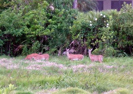 Harbour-Ridge-Deer