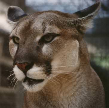 Harbour-Ridge-Florida-Panther