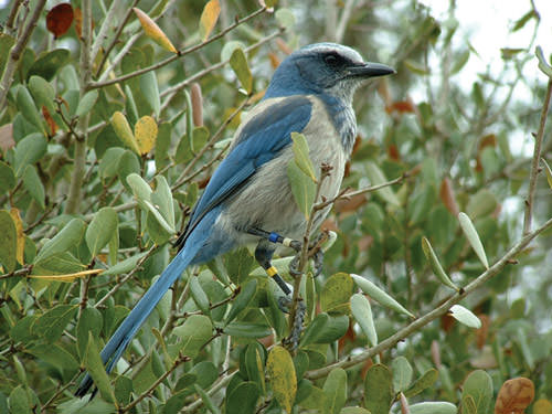 Harbour-Ridge-Florida-Scrub-Jay-Bird