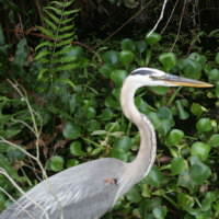 Harbour-Ridge-Great-Blue-Heron