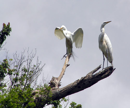 Harbour-Ridge-Great-Egrets