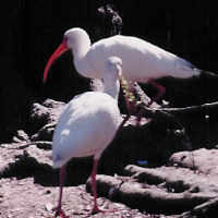 Harbour-Ridge-Ibis